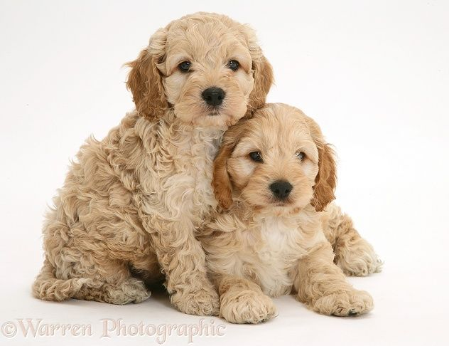 Dogs That Don T Shed 23 Hypoallergenic Dog Breeds Cockapoo Cockapoo Puppies Cockapoo Puppies