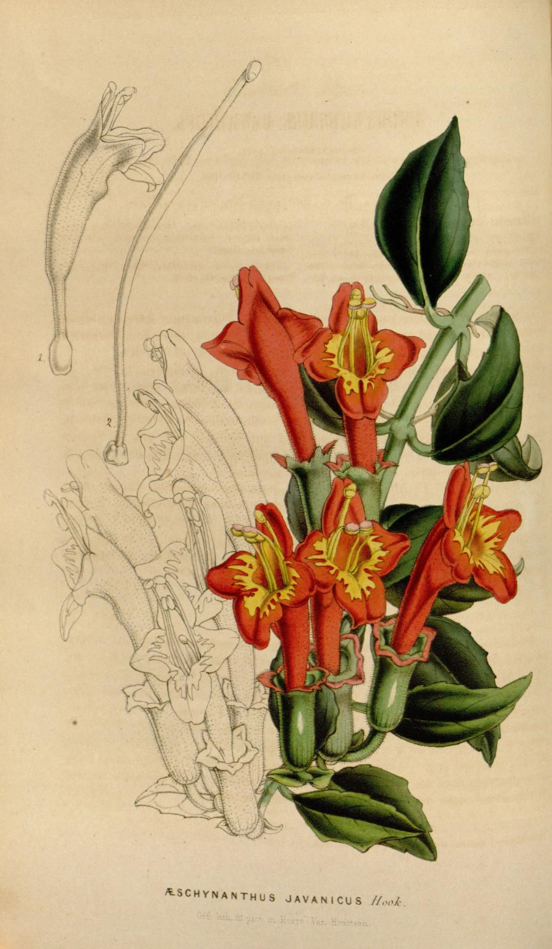 Æschynanthus javanicus