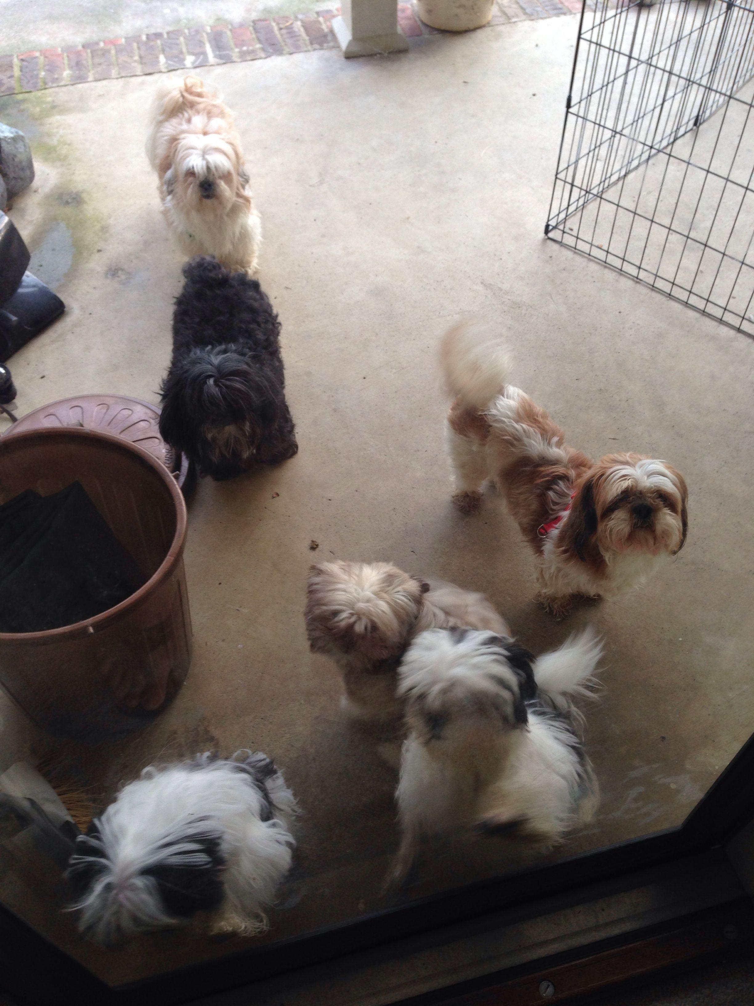 Shih Tzu 6 Pack Shih Tzu Shih Tzu Puppy Puppies