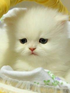 Fonkelnieuw kitten #wit | baby's - Katten, Schattige dieren en Katten en kittens YU-28