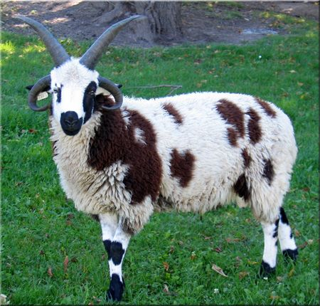Jacob sheep =) Monster Sheep/Cow with 4 horns!