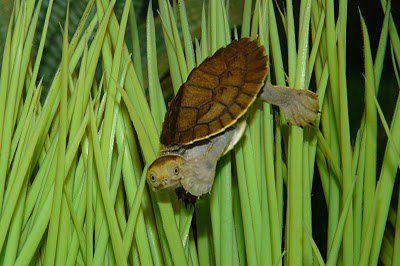 Baby Turtles For Sale - Sydney, Australian Freshwater Turtles!!