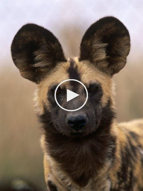 Lycaon Pictus - African Wild Dog #cutestanimals #animalsart