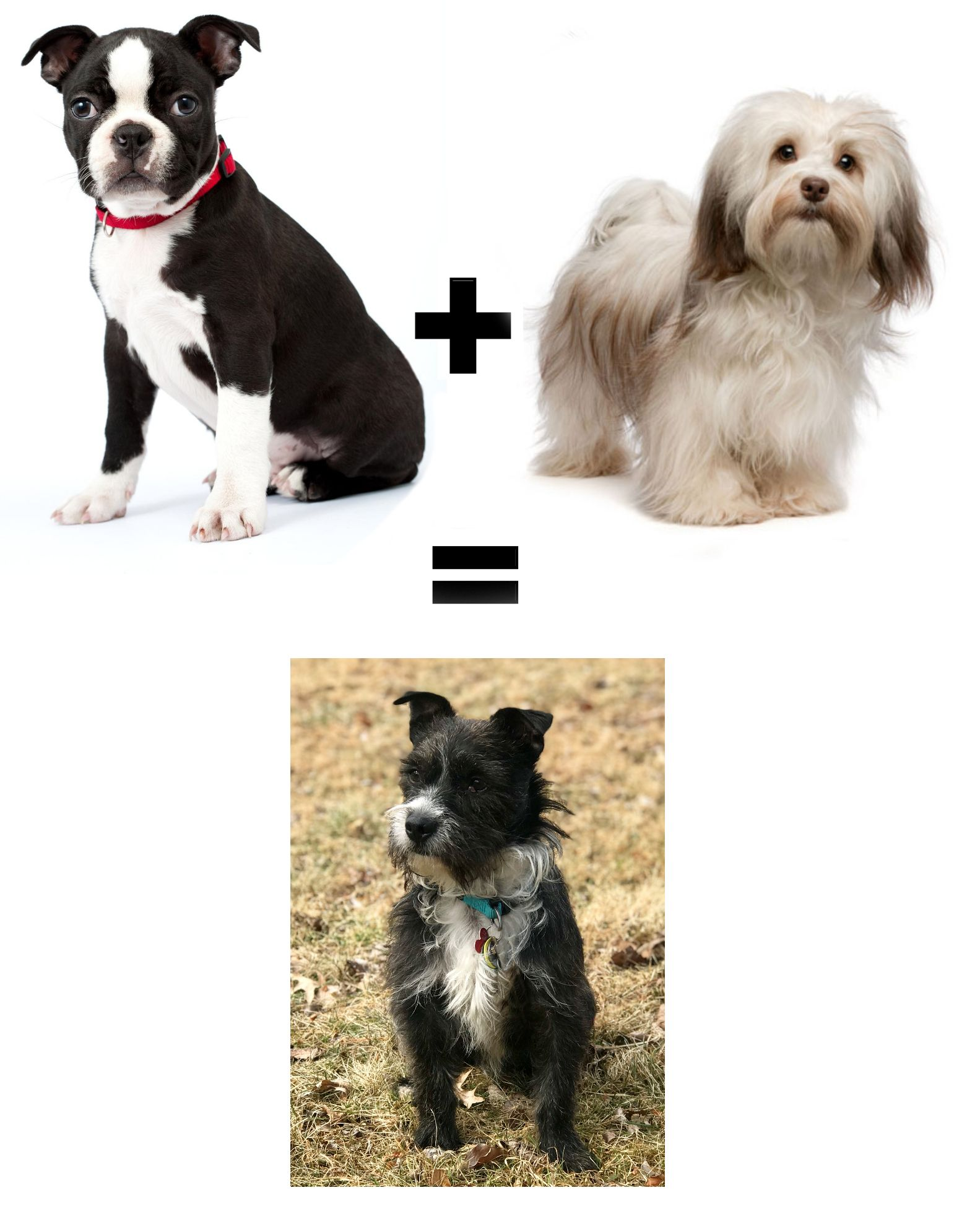 What Do You Get When You Mix A Havanese With A Boston Terrier Boston Terrier Dog Gadgets Terrier