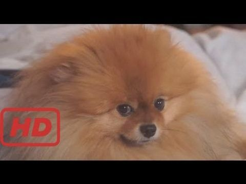 Image of: Puppies Funniest And Cutest Pomeranian Videos Compilation Funny Dog Videos Thank For Watching dogsfunnyvideos Pinterest Funniest And Cutest Pomeranian Videos Compilation Funny Dog Videos