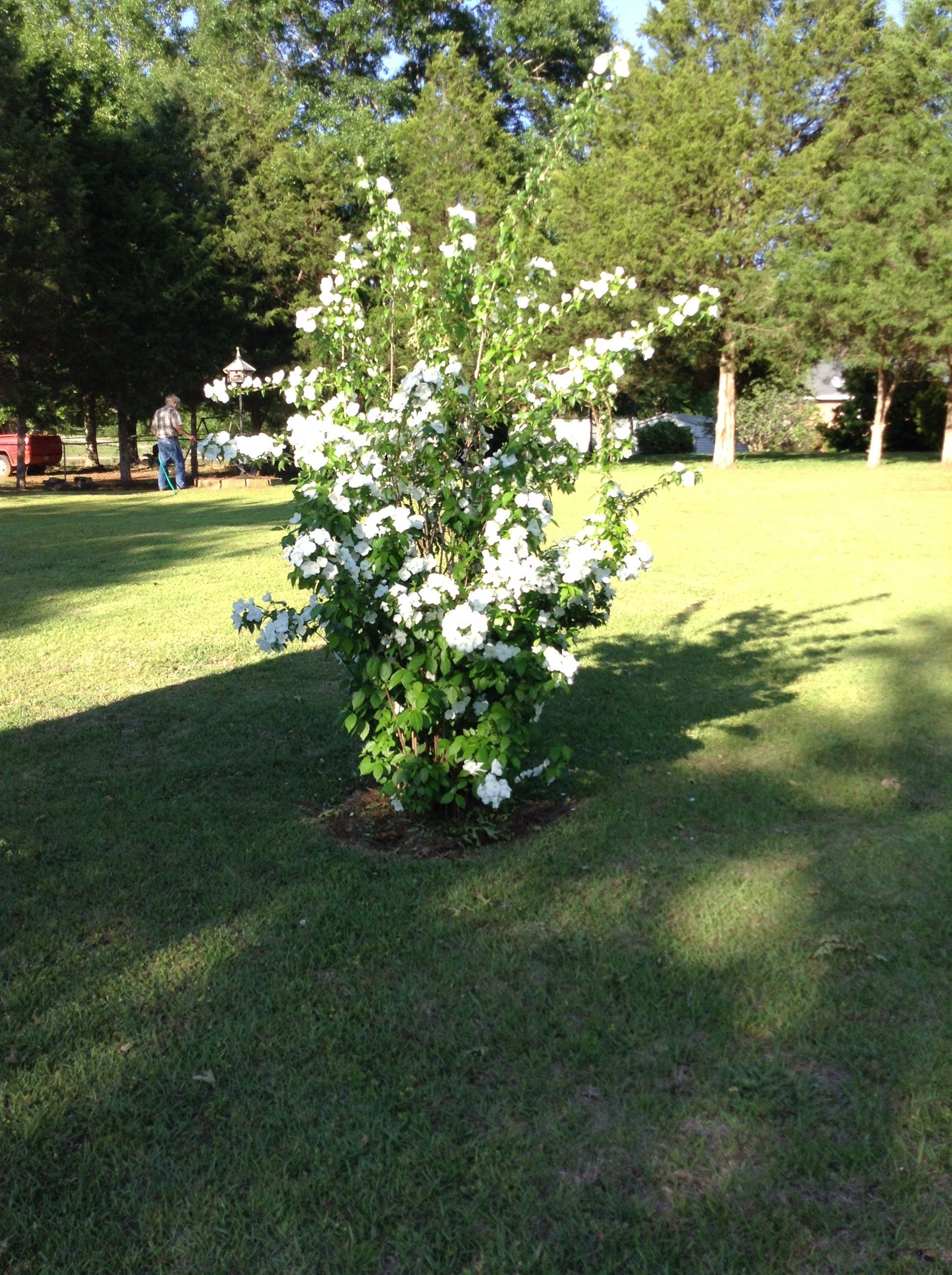 English dogwood tree in our yard | Our flowers in the yard and our ...