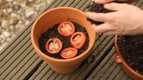 tomaten pflanzen etwas erde kommt in einen topf die tomatenscheiben oben drauf und dann mit. Black Bedroom Furniture Sets. Home Design Ideas