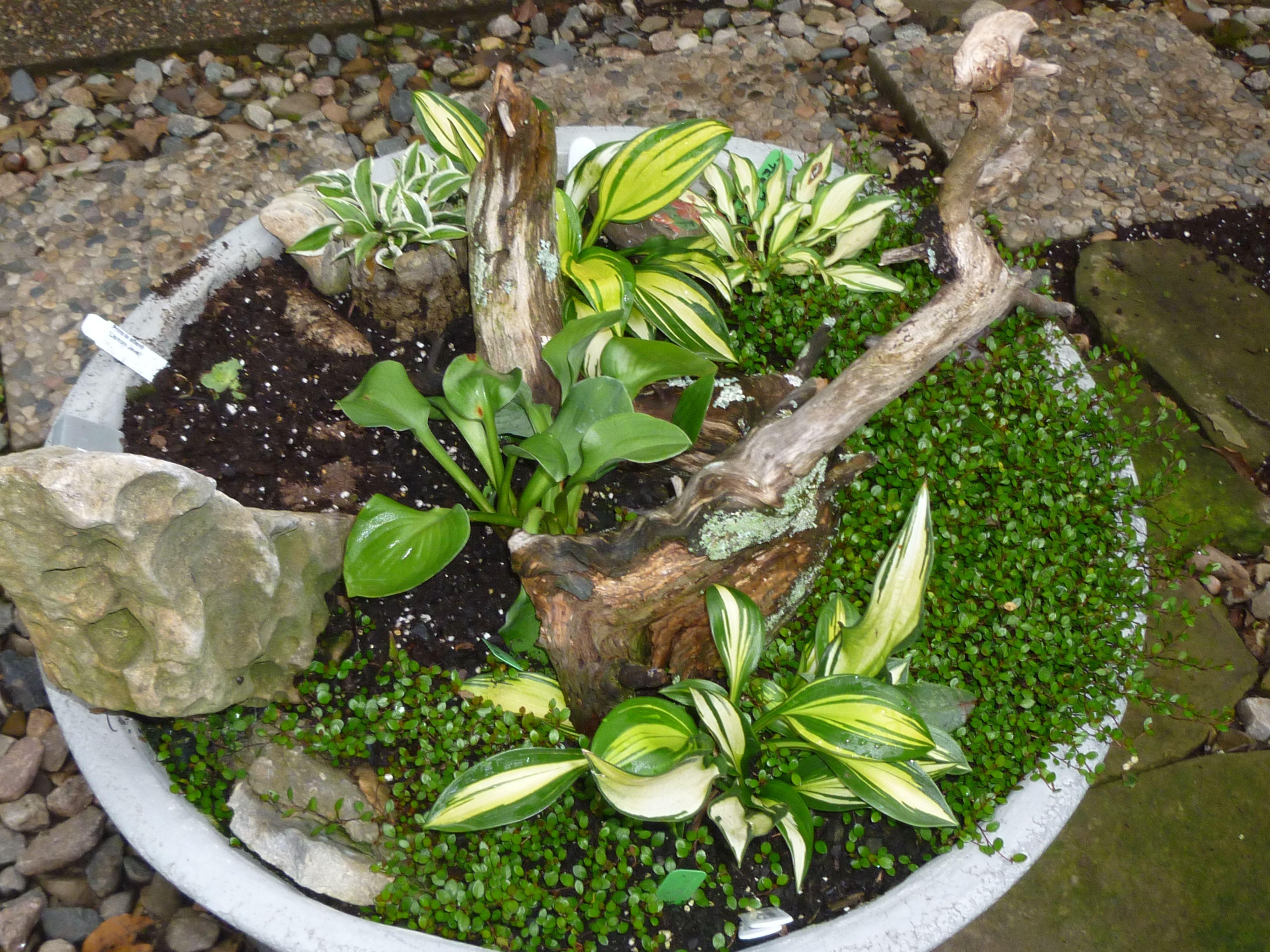 Mini Hostas Wire Vine Gardening Miniature Trough Shade