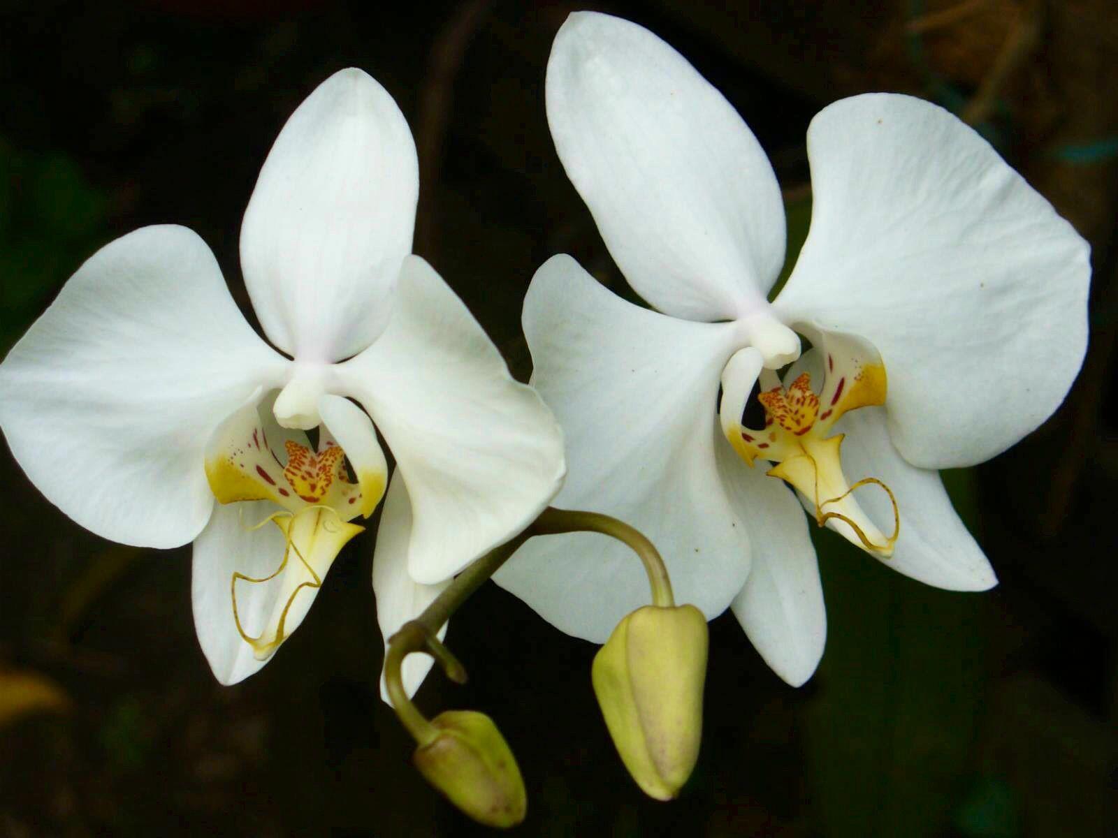 Moon Orchid Orquideas Plantas Flores Orquideas Y Orquidea