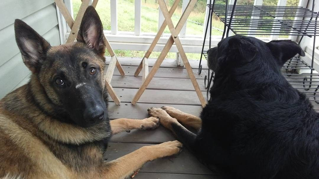 Best GSD  Hoodies & Mugs EVER in @german.shepherds.are.awesome profile Satisfaction guarantied Worldwide shipping To be featured  #shepherds_are_awesome  Credit: @germanshepherdtribe