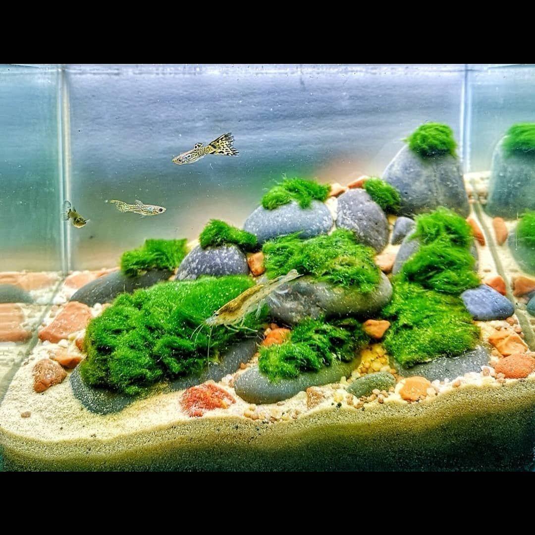 Rescape My 3 Liters Mini Tank Aquascape Aquascaping Aquascaper Aquarium Aquatic Aquatic With Images Freshwater Plants Aquatic Plants Planted Aquarium