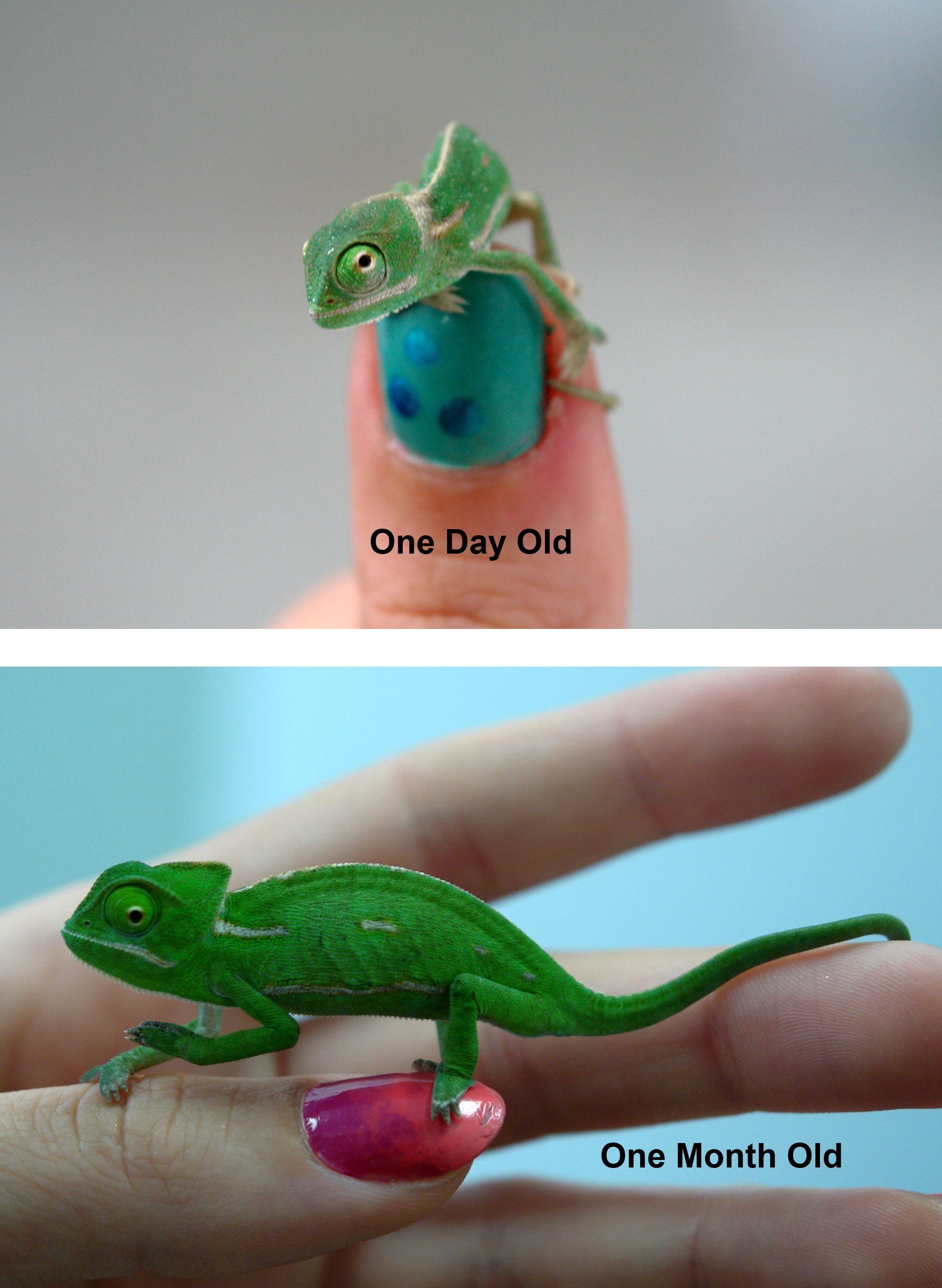 Comparison Of A Hatchling Baby Veiled Chameleon To The