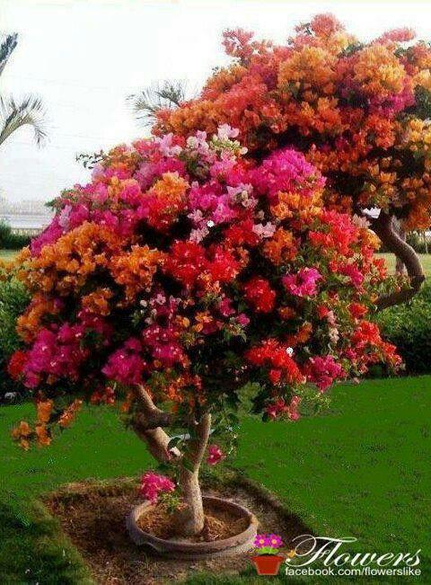 Pin By Monic Hathaway On Flowers Bougainvillea Tree Plants Flowering Trees