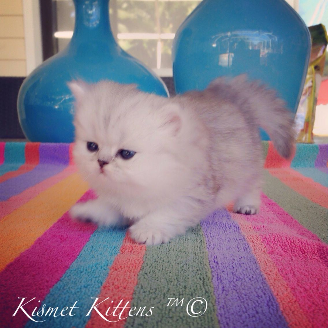 Kismet Kittens For Sale Ex Small Teacup Silver Shaded Persian Doll Face Kittens Persian Cat Doll Face Persian Kittens For Sale Teacup Persian Kittens
