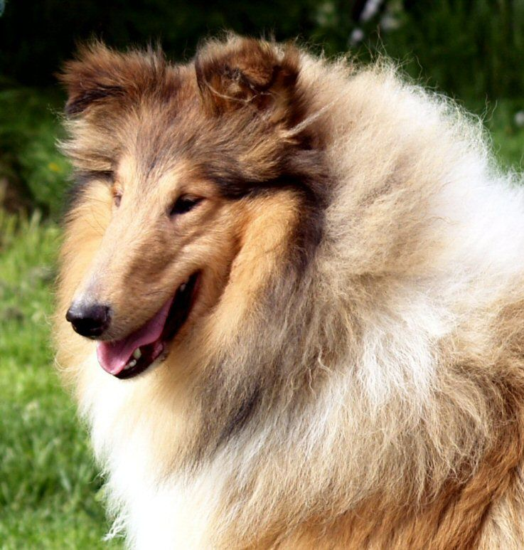 Rough Collie so beautiful, AISLING WICANI The home of