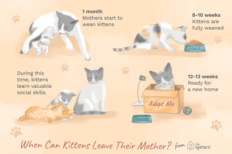 How Old Should A Kitten Be Before You Take It Home Kitten Care Kitten Puppy Care List