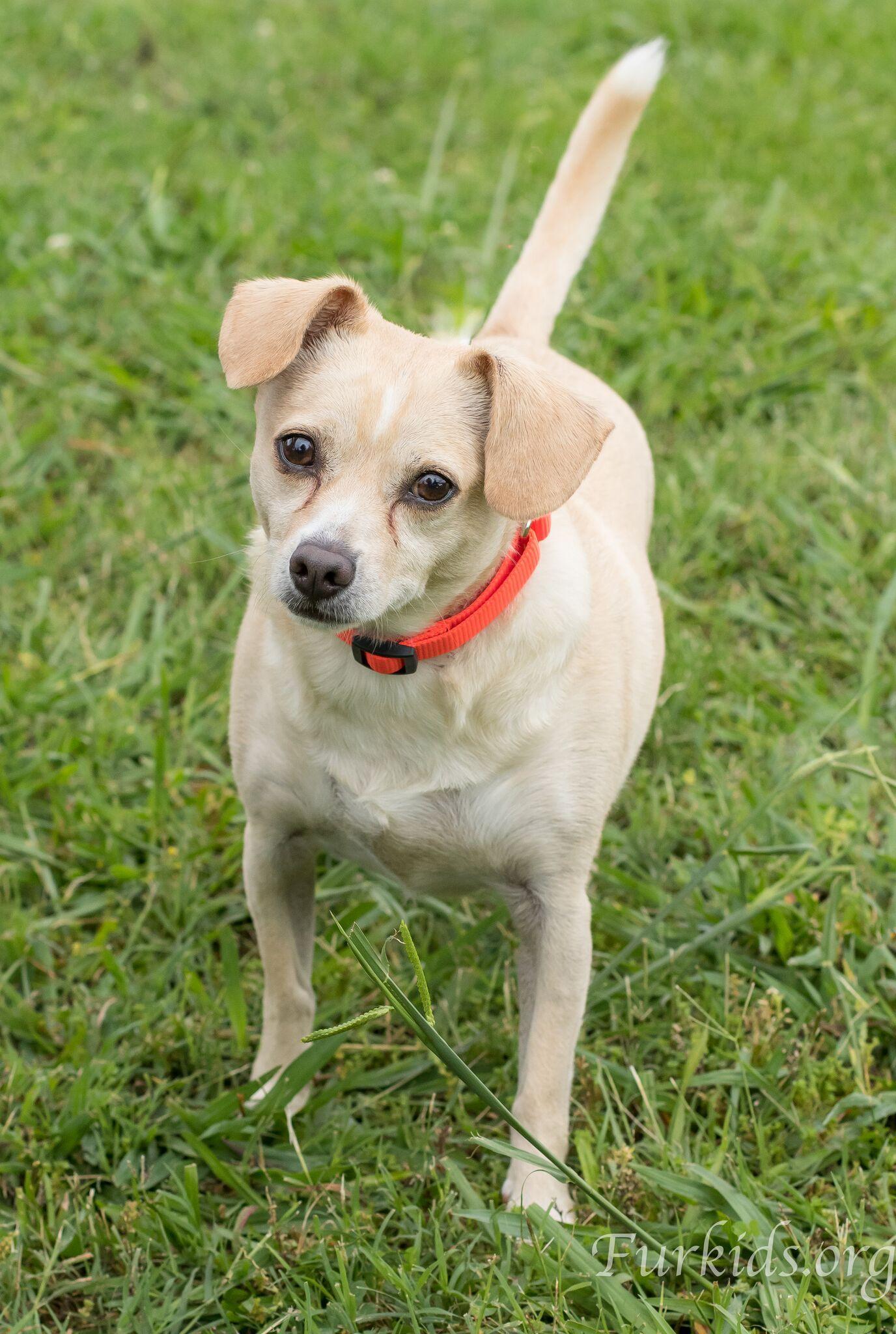 Jack Chi Dog For Adoption In Alpharetta Ga Adn 556888 On
