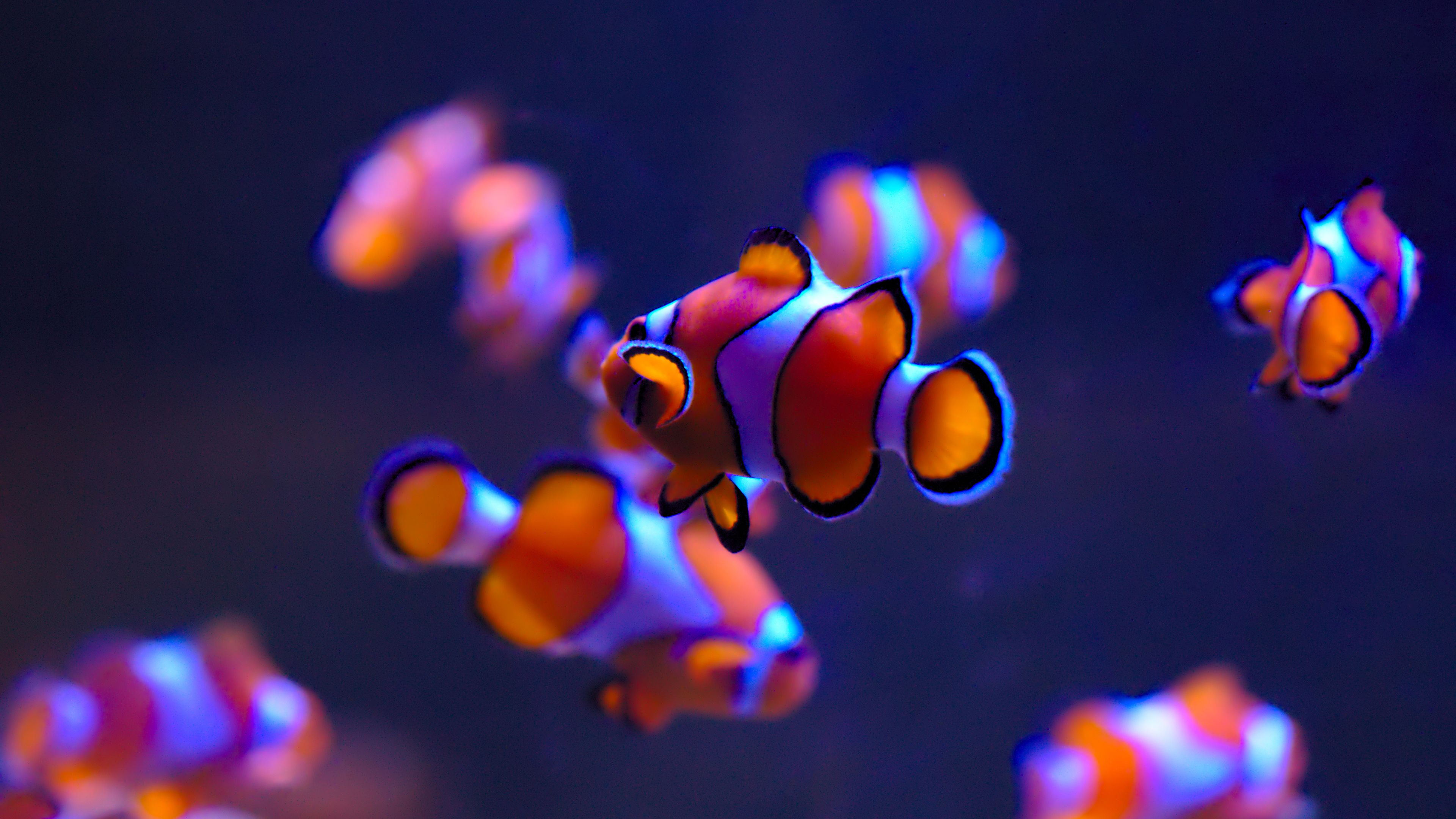 General 3840x2160 Ultra Hd Fish Clownfish Underwater Fish Wallpaper Clown Fish Animal Wallpaper