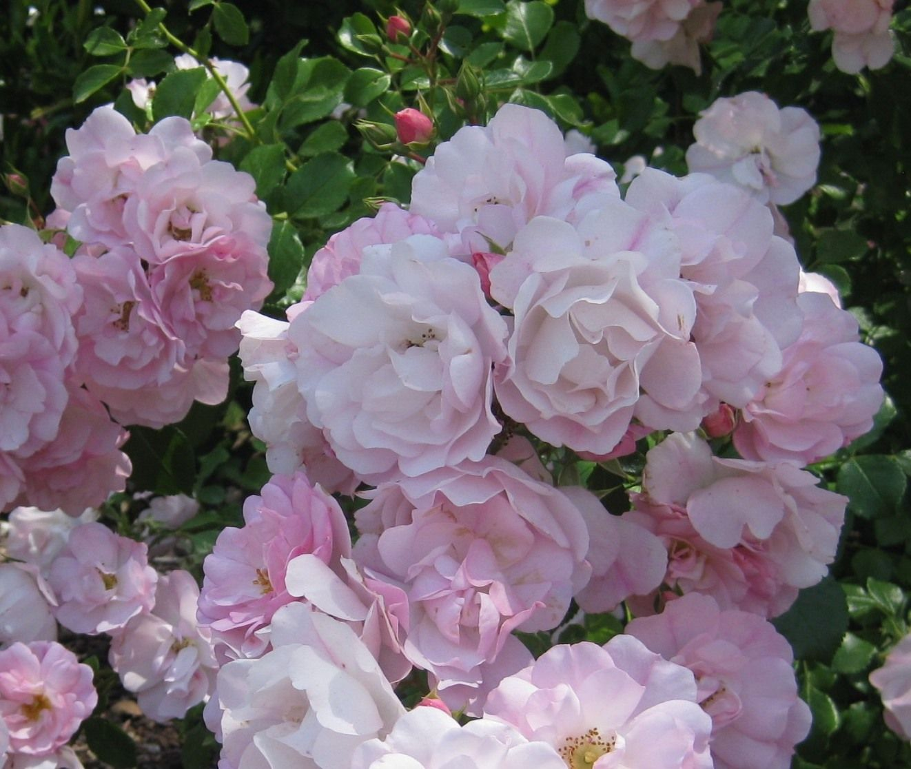 Fiori Tappezzanti Per Aiuole flower carpet® appleblossom groundcover rose - monrovia