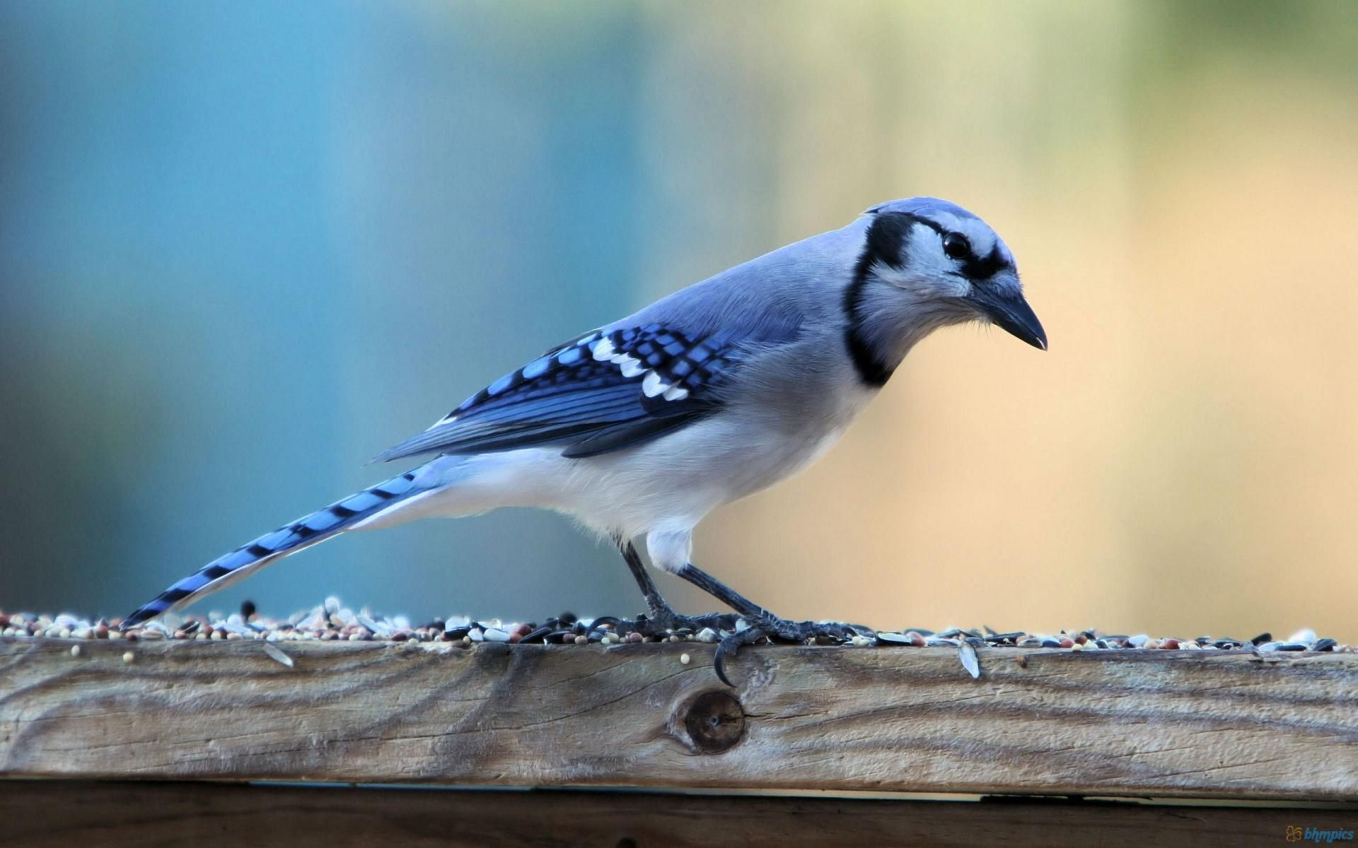 cool beautiful blue jay wallpaper Check more at http://www.finewallpapers.eu/pin/2065/