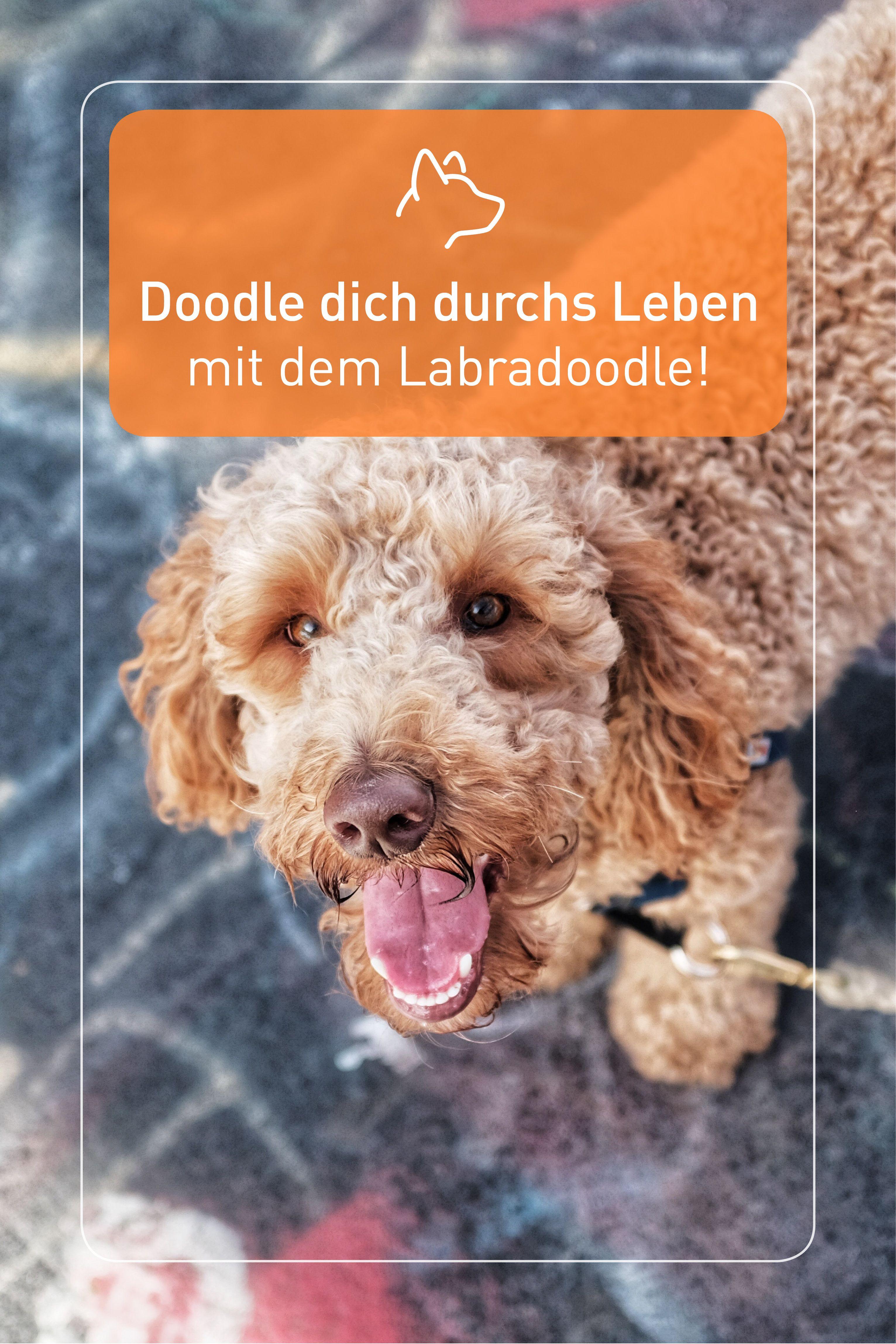 Doodle Dich Durchs Leben Mit Dem Labradoodle In 2020 Familienhund Labradoodle Hunde
