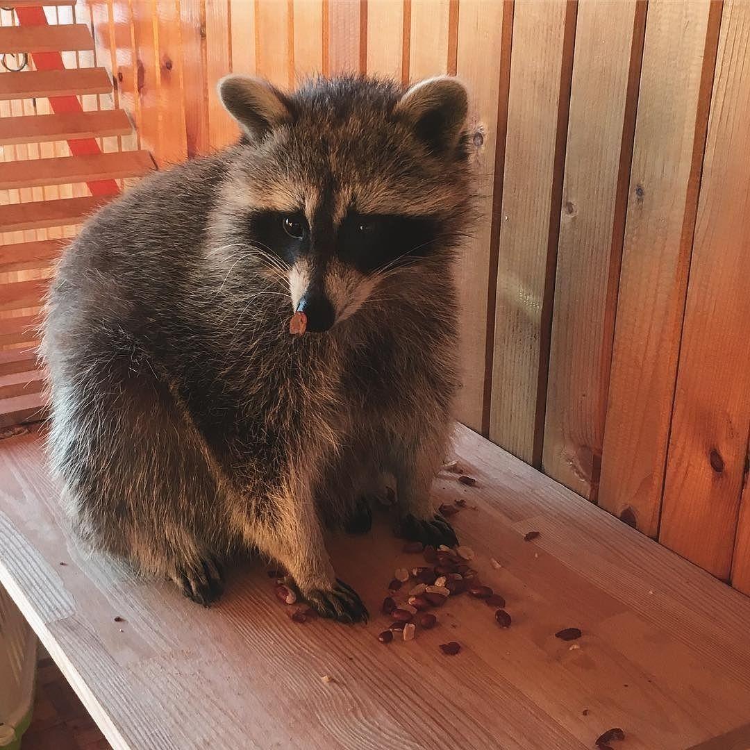 Raccoon Trash Panda #Raccoon | Raccoon | Pinterest | Raccoons and Lovers