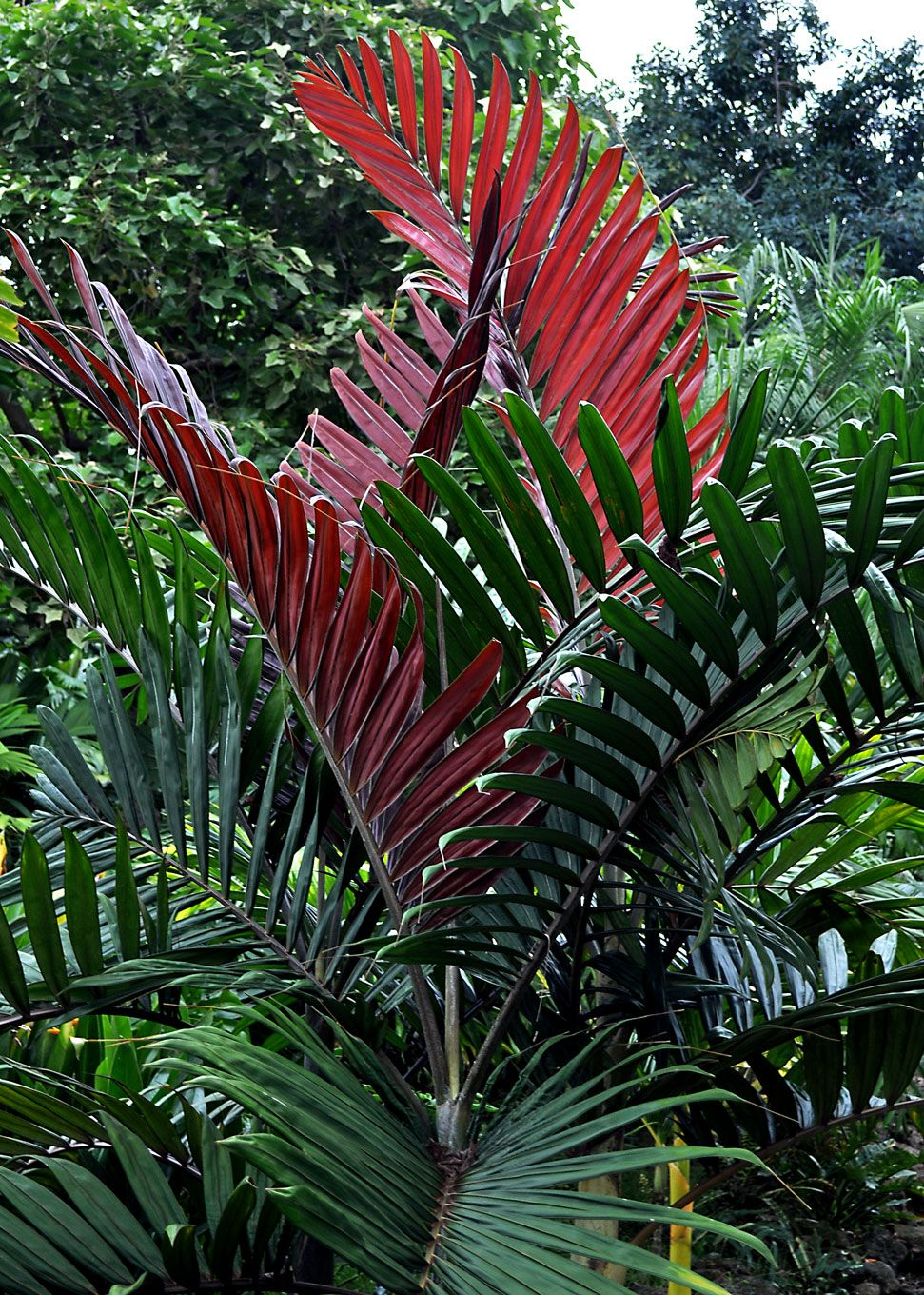 flame thrower palm  i u0026 39 d love some of these  love  love  love some red in my landscaping