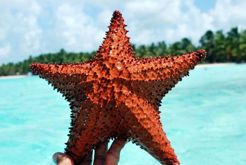 Starfish in Saona Island, Dominican Republic