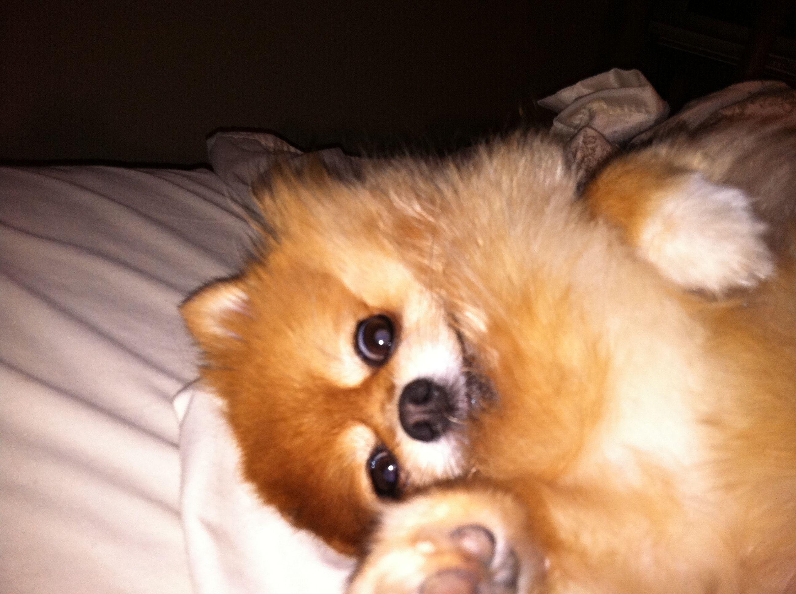 Pomeranian says hi (With images) Pets, Pomeranian, Animals
