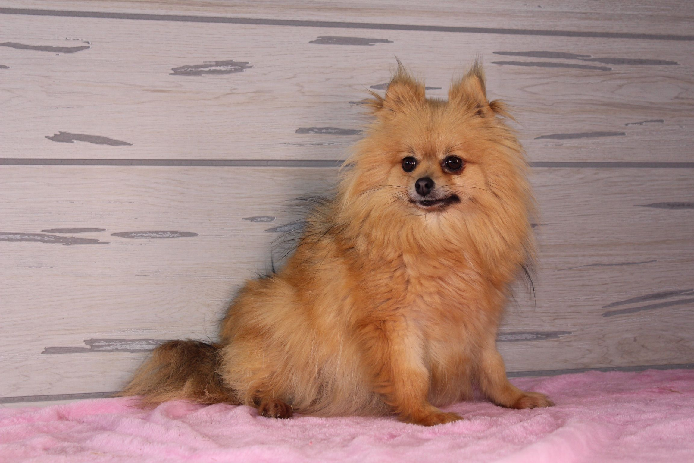 Amber Akc Pomeranian Pup For Sale Near Nappanee Indiana In 2020 Puppies Puppy Finder Pomeranian Puppy