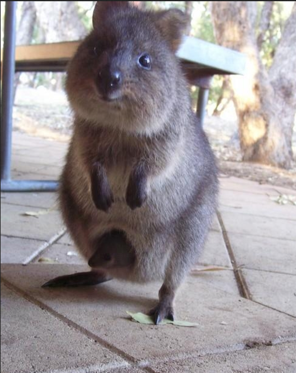 This is a Quokka, carrying a baby in its pouch....so cute