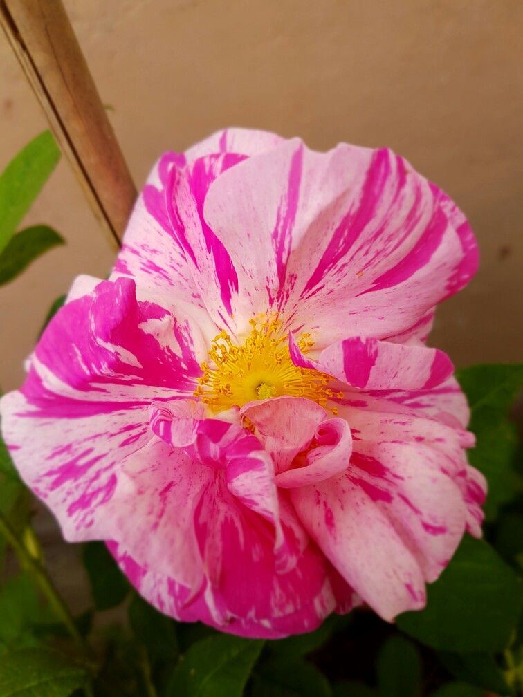 Rose 'Rosa gallica versicolor ' <3