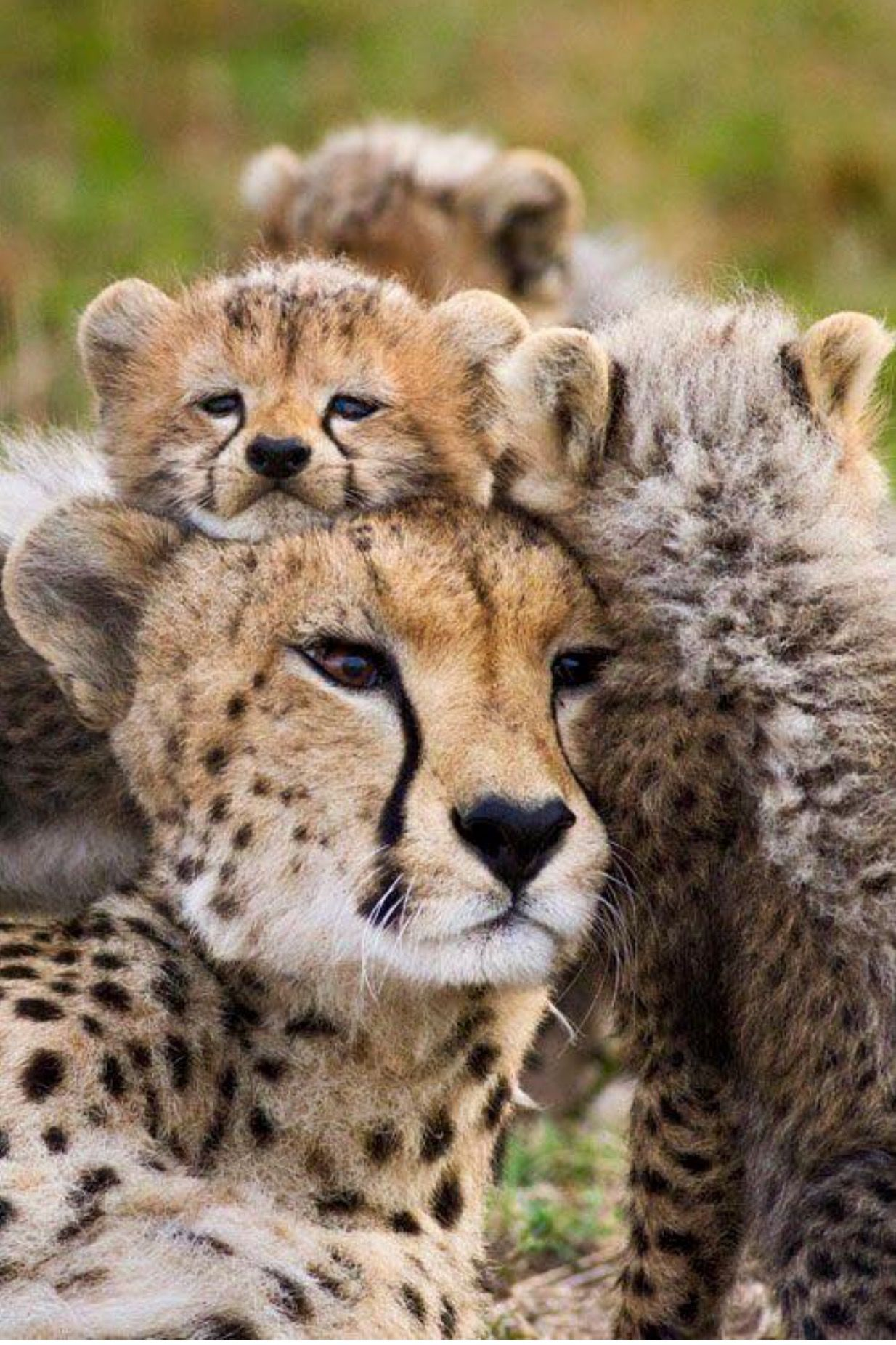 Mama Cheetah With Her Cubs | Cataholics | Animals, Cute ...
