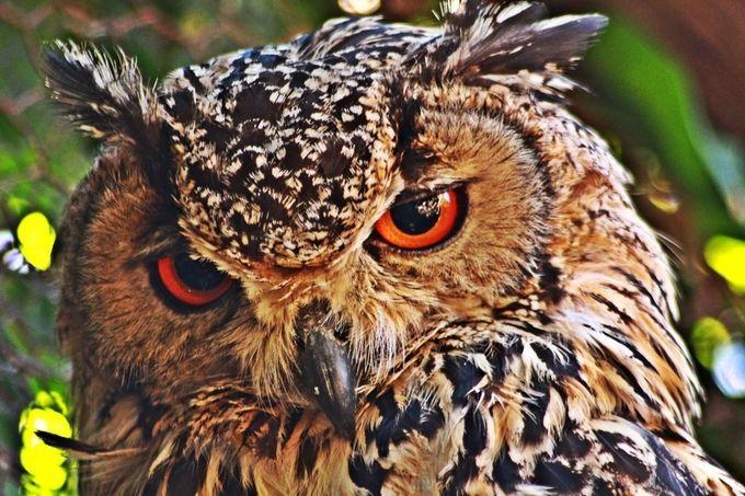 Photo By Judithstopforth Owl Pet Owl Photo