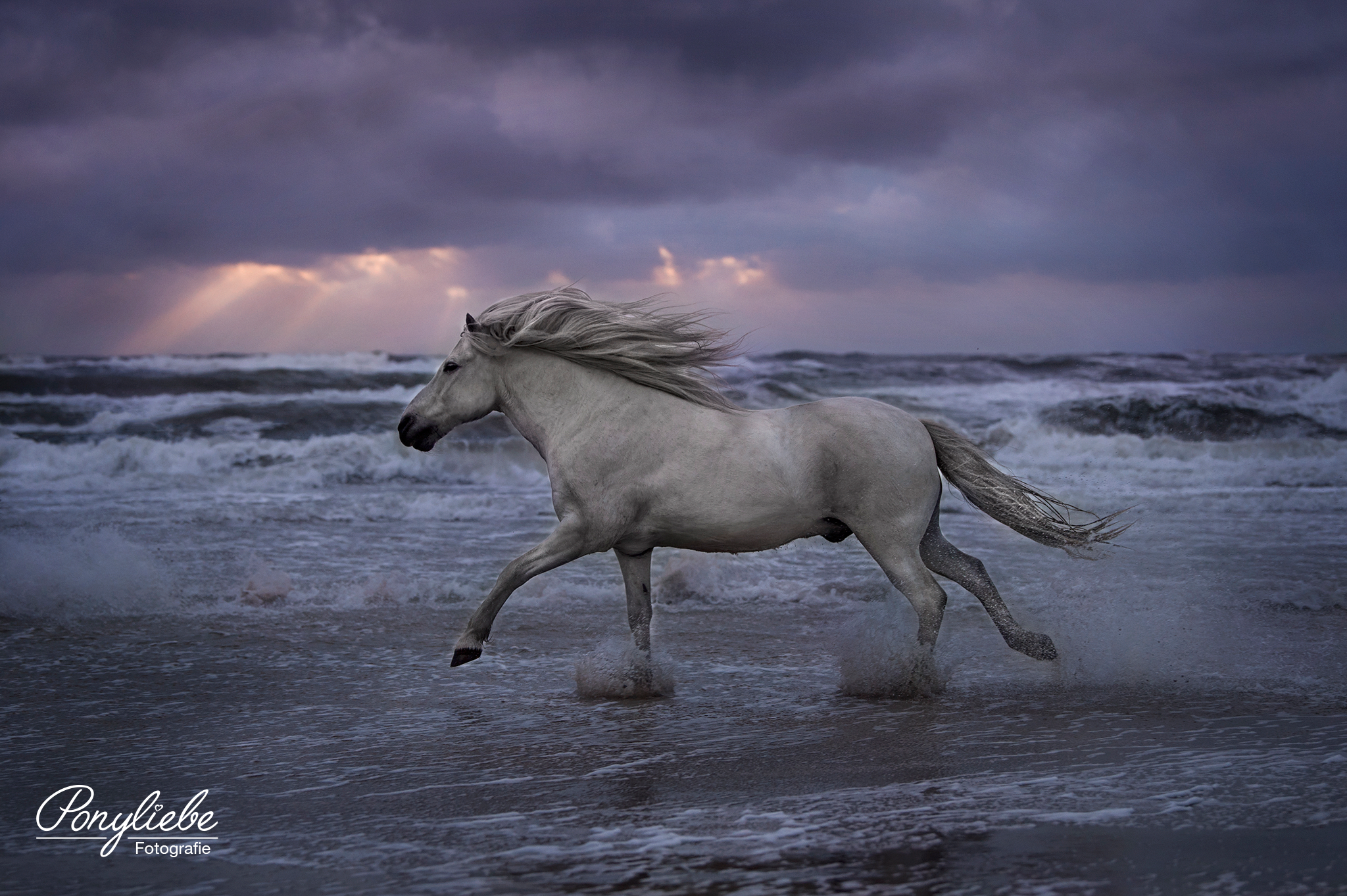 Schimmel Galoppiert Am Strand Pferdefotografie Horsephotography Pferde Fotografie Pferdefotografie Pferdefotos