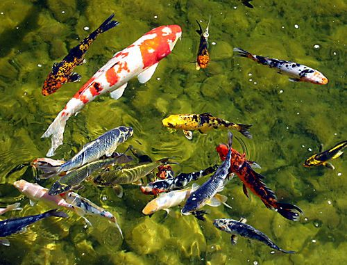 The koi pond at Frederik Meijer  Gardens in Grand Rapids, MI..