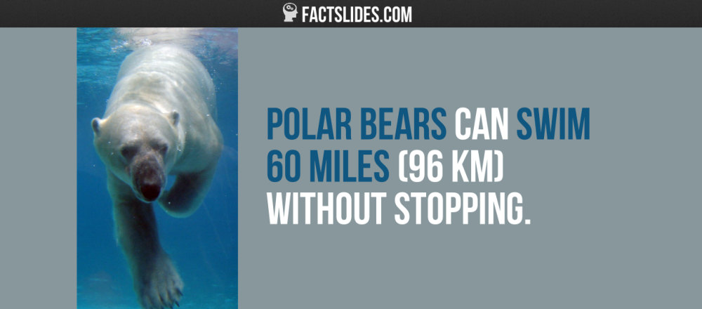 Polar Bears Can Swim 60 Miles 96 Km Without Stopping Polar Bear Polar Canning