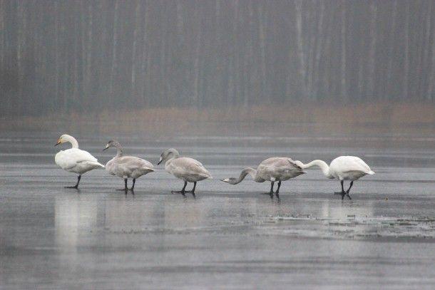 Swans, Finnish Nature, November 2016