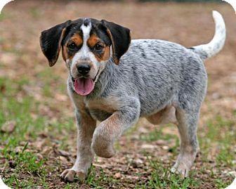 Rochester Ny Beagle Bluetick Coonhound Mix Meet Tessa A Puppy