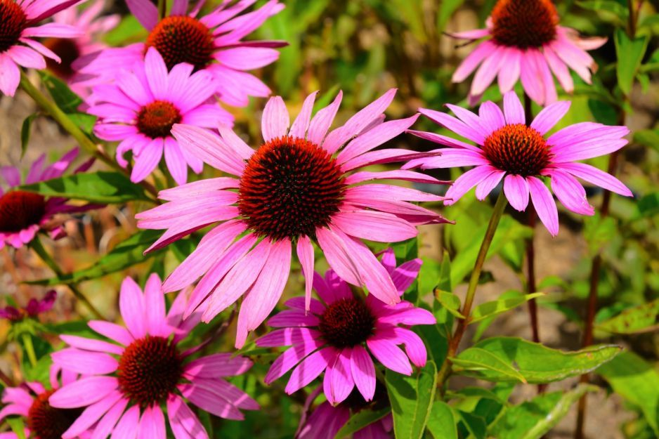 Purpurowy Urok Jezowki Moj Piekny Ogrod Ogrody Ozdobne Rosliny Kwiaty In 2020 Plants Garden