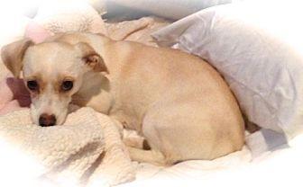 Anaheim Ca Dachshund Chihuahua Mix Meet Shyla A Dog For