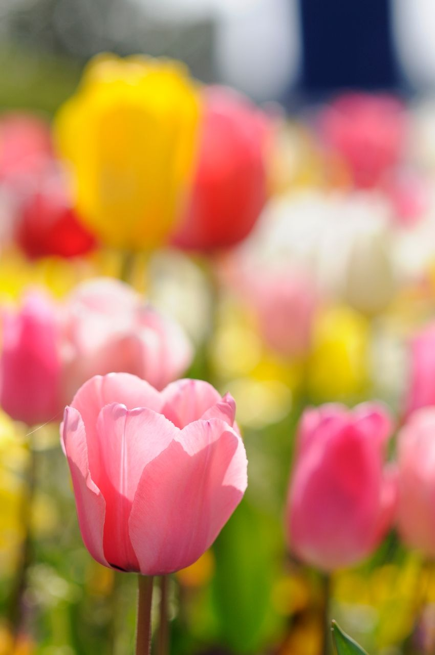 Tulips - OGQ Backgrounds HD
