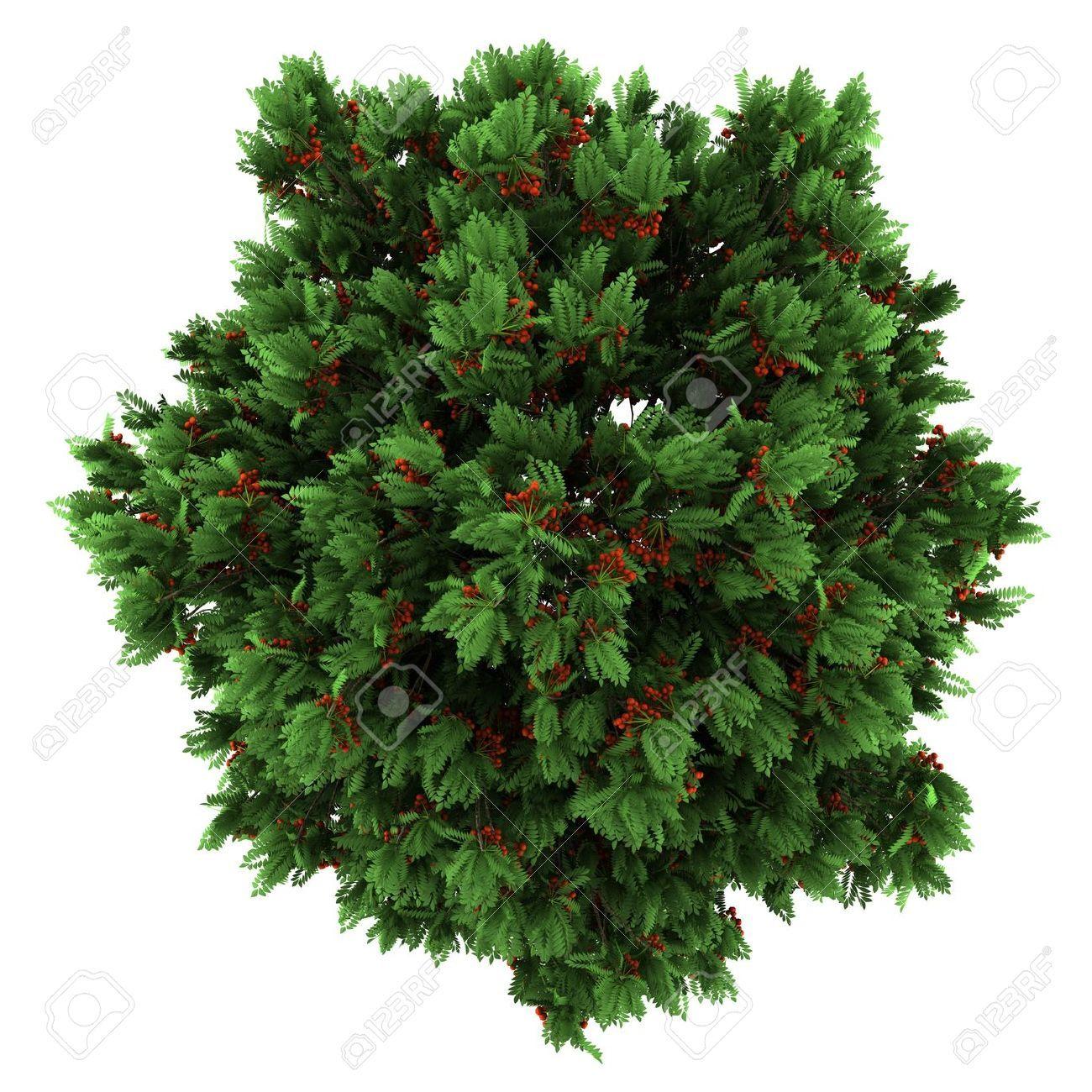 Christmas Tree Top View.Top View Tree Top View Of European Rowan Tree Isolated On