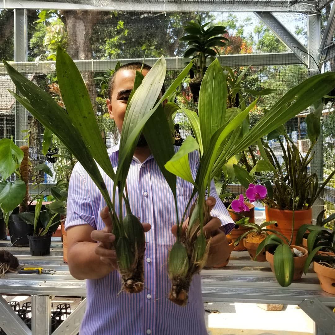 Ready Stock Coelogyne Pandurata Anggrek Hitam Kalimantan Dewasa Ukuran Seperti Di Gambar Media Menggunakan Sabut Kelapa Harga Dm Wa 081233433605 Plants