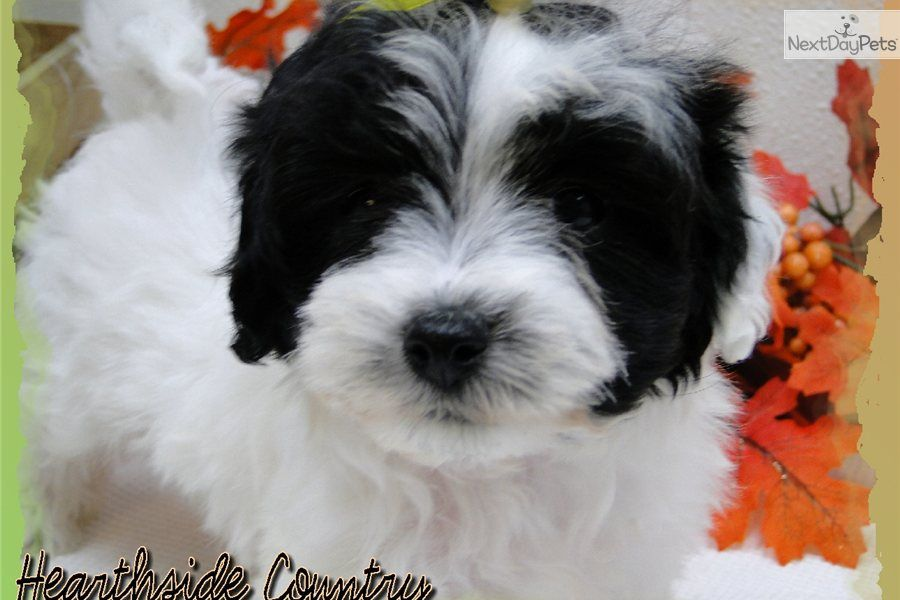 Black And White Maltipoo Adult Bing Images Maltipoo Puppy Dogs