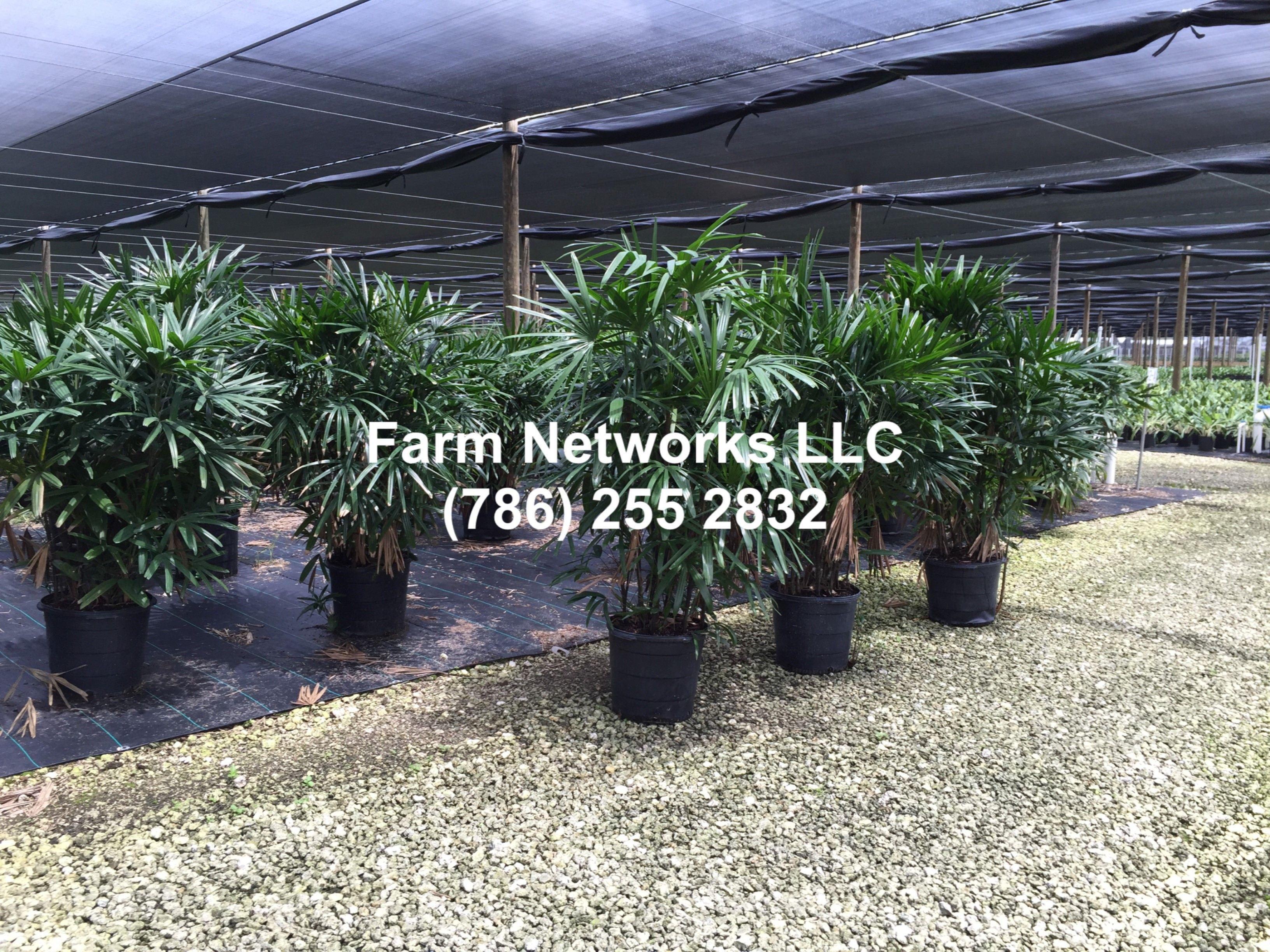 15 Gallon Rhapis Excelsa Palm Lady Palm Plants Florida Plants Farm