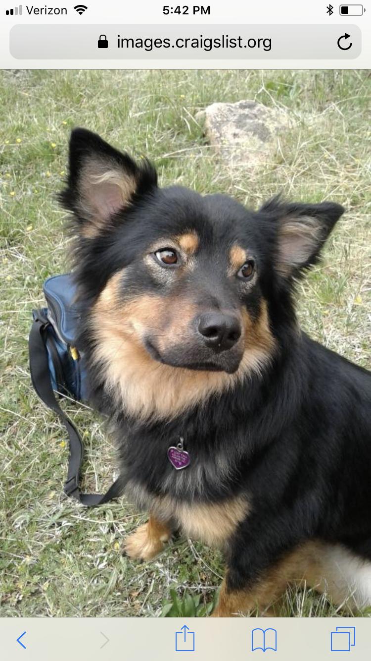 Juno Aussie Corgi Rotti Mix Shepherd Dog Mix Dog Mixes Corgi Mix