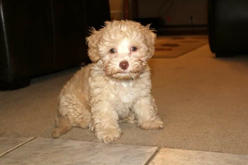 Theodore A K A Teddy Our Sweet Schnoodle Apricot And White Liver