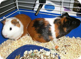 El Cajon, CA - Guinea Pig. Meet Daisy & Petunia pets for adoption
