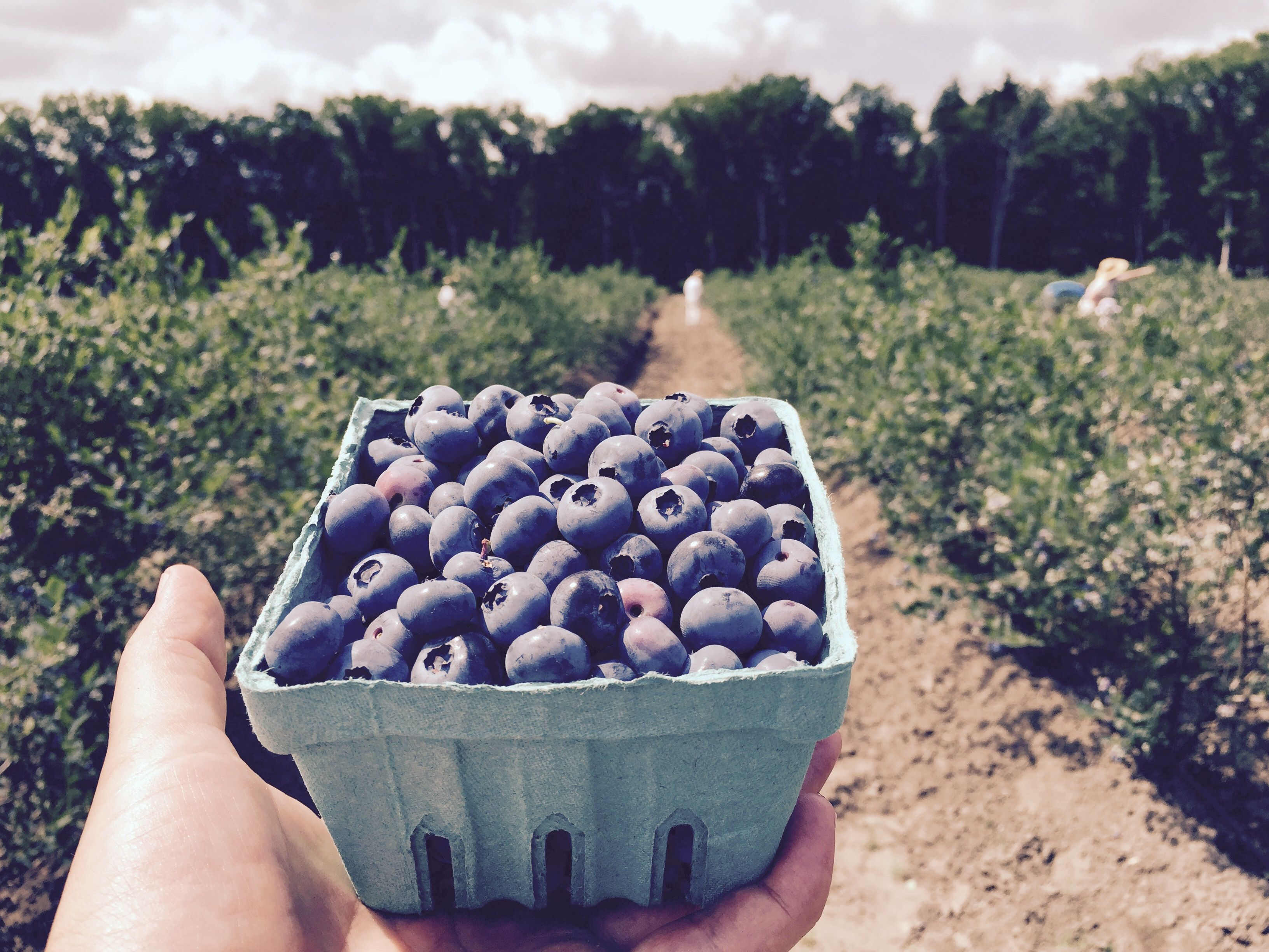 Best Blueberries Picking In South Jersey At Dimeo S You Pick Blueberry Farm With The Sweetest